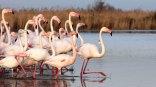 Flamants roses courant dans l'eau PNR de Camargue France mars Parc Ornithologique de Pont de Gau