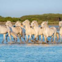 camargue-chevaux-sauvage-01